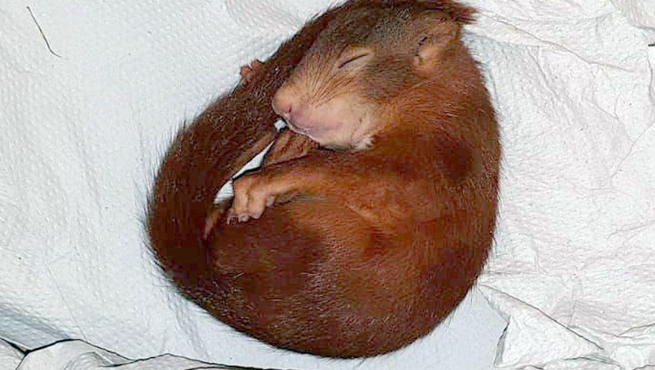 Das schlafende Eichhörnchen