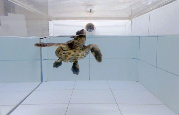 Unechte Karettschildkröte beim Versuch: Gerüche ins Becken eingeleitet