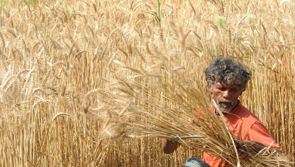 Indischer Bauer bei der Weizenernte (Archivbild)