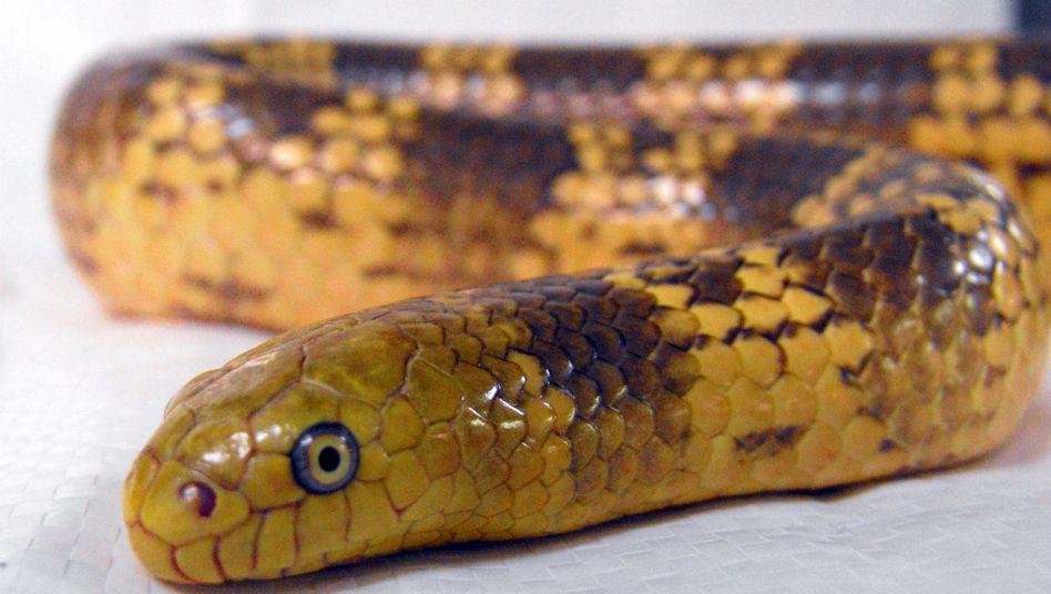 Neue Seeschlangenart: Aipysurus mosaicus gehört zu den Giftnattern