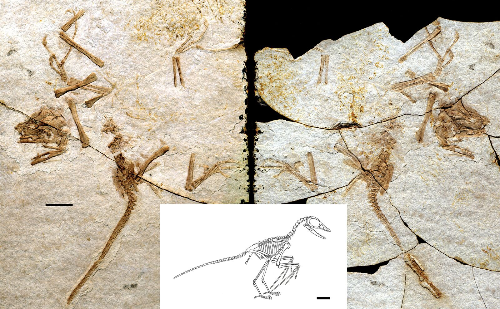 EINMALIGE VERWENDUNG Scansoriopteryx Czerkas Feduccia