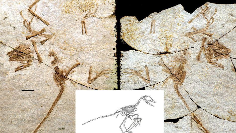 Fossil des Scansoriopteryx: Fälschlich den Dinosauriern zugeordnet?