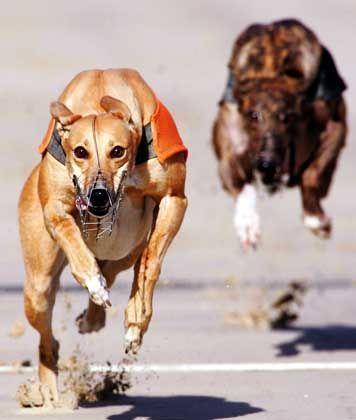 Hunderennen in England: Skandal um zu langsame Tiere