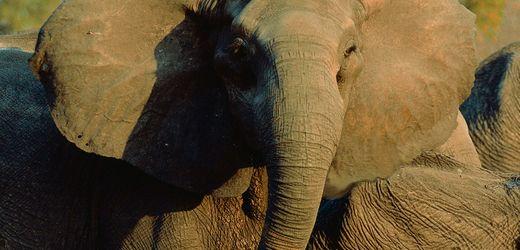 Mosambik: Das Rätsel um die stoßzahnlosen Elefanten von Gorongosa