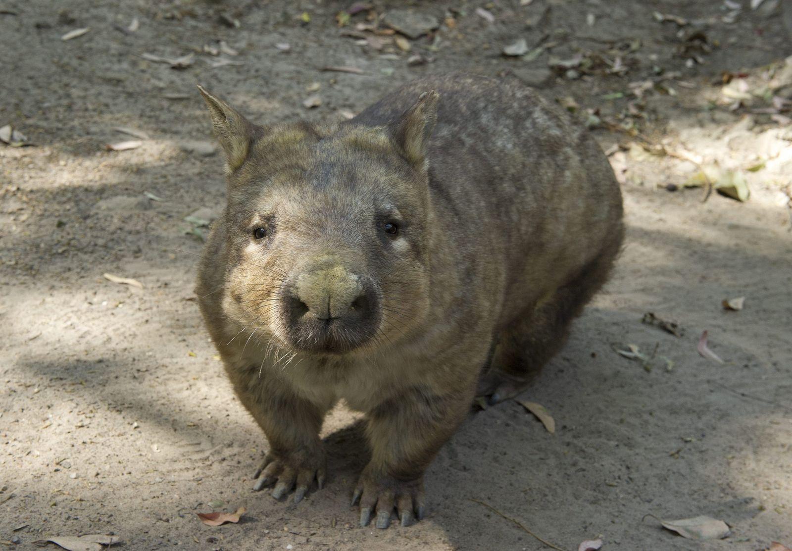 Wombat/ Maria Island
