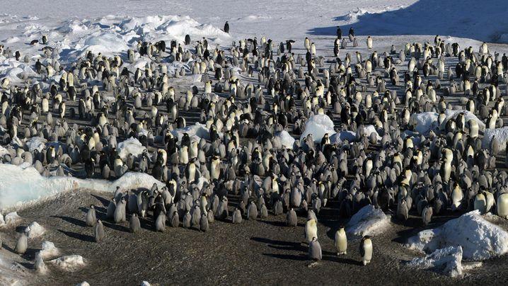 Unbekannte Siedler: Tausende Pinguine