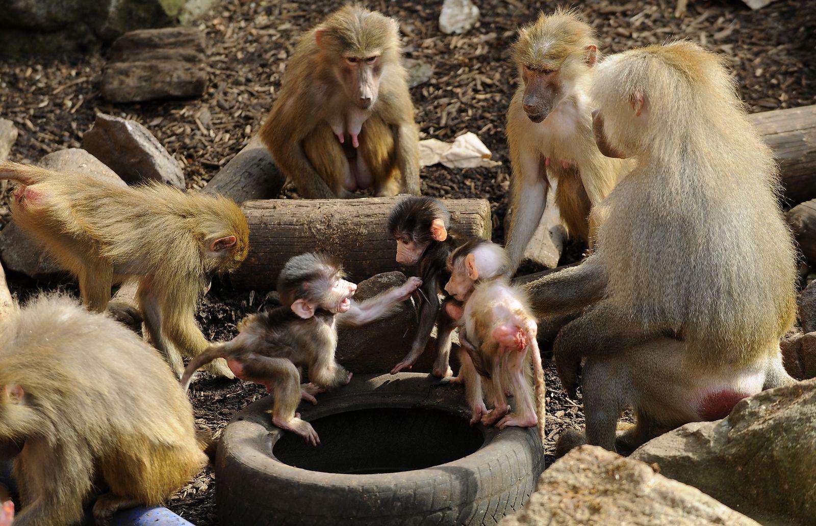 NICHT VERWENDEN Pavian / Familie