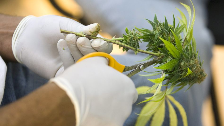 Streitthema Cannabis: Soll der medizinische Gebrauch legal sein?