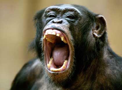 Schimpanse: Werkzeugeinsatz unabhängig vom Menschen entwickelt?
