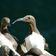 Viele Vögel können sich schnell steigenden Temperaturen nicht anpassen