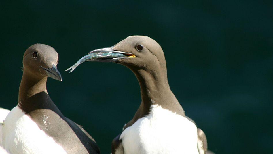 """Trottellummen auf der Isle of May: """"Die Vögel spüren nicht, dass sich die Bedingungen verändern und sie auch ihren Fortpflanzungszyklus anpassen müssen"""""""