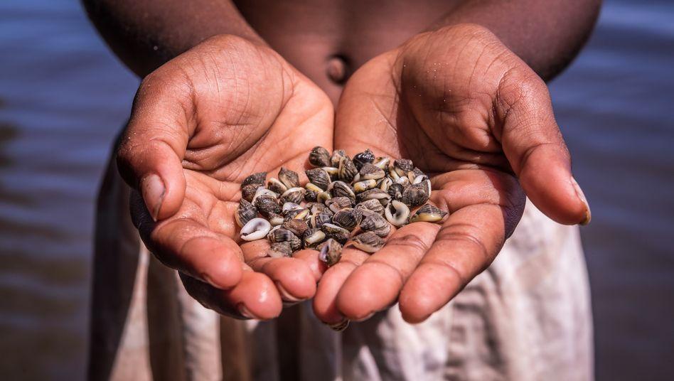 Für die Tolai in Papua-Neuguinea sind Muscheln die Währung
