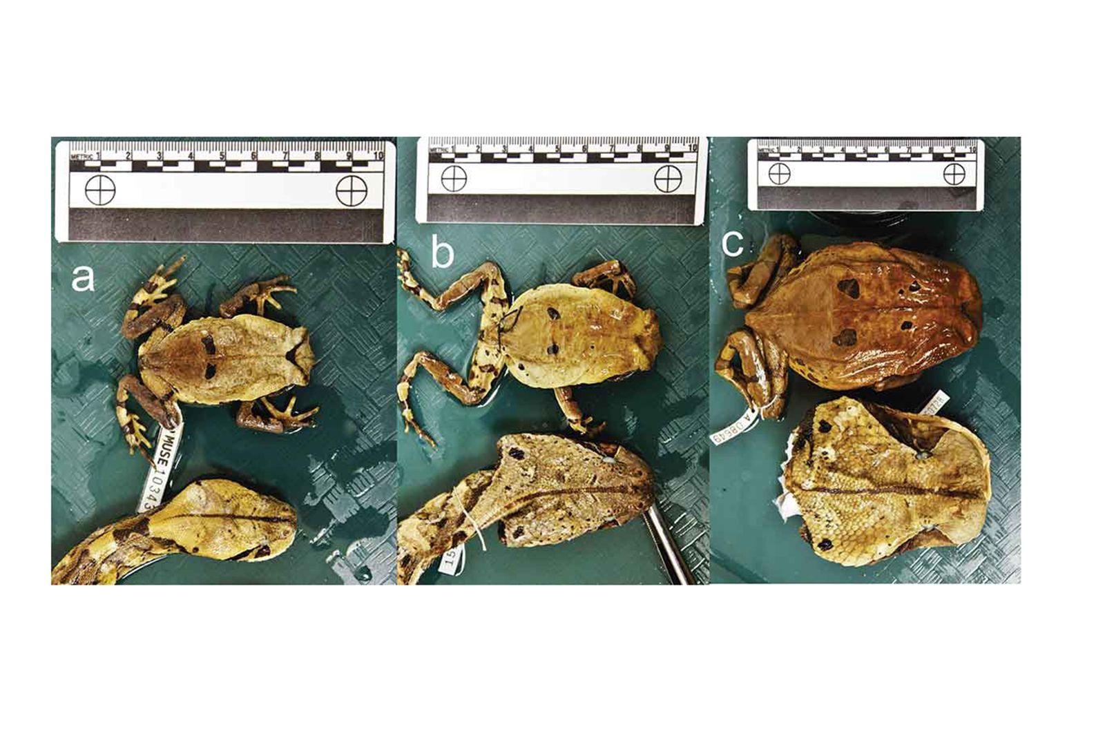 EINMALIGE VERWENDUNG Viper & Frosch/ Mimikry