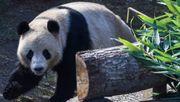 Panda entwischt aus Zoo-Gehege