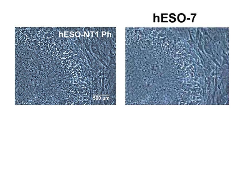 EINMALIGE VERWENDUNG Cell Gegenüberstellung / Manipulation Stammzellen Klon