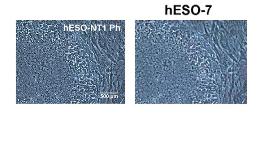 Geklontes Foto: Abbildungen aus der Studie zeigen augenscheinlich dieselbe Zellkultur. Links soll sie mittels Klontechnik erzeugt worden sein, rechts ohne.