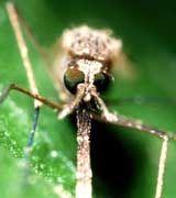 Die Malaria-Mücke Anopheles