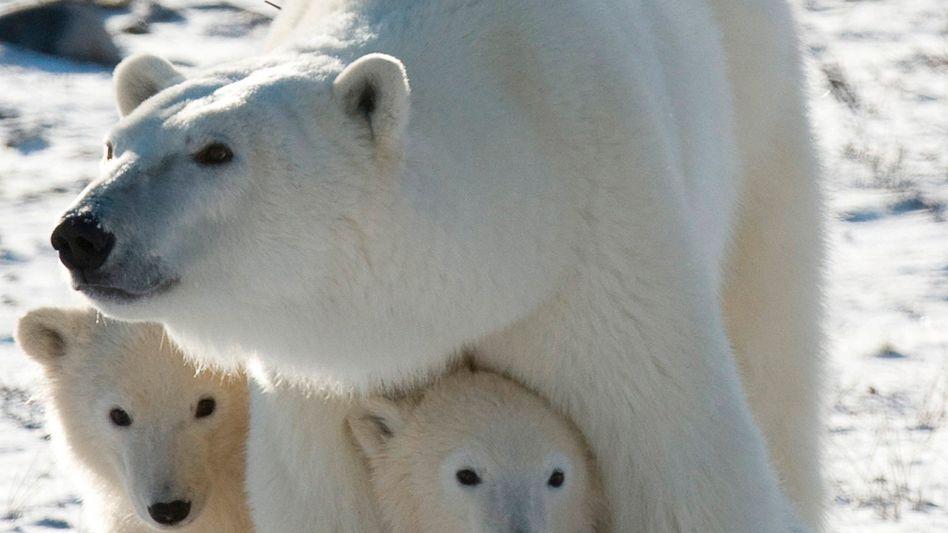 Mutter mit Jungtieren in der Hudson-Bay: Eisbärenpopulation in Gefahr