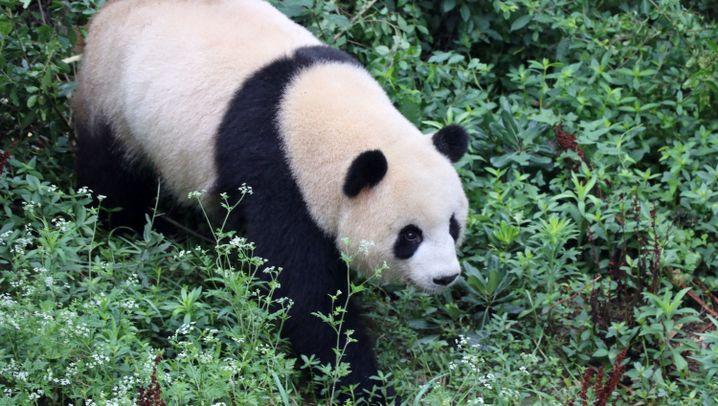 Panda, mon amour: Pelzig, tapsig, schwarz-weiß