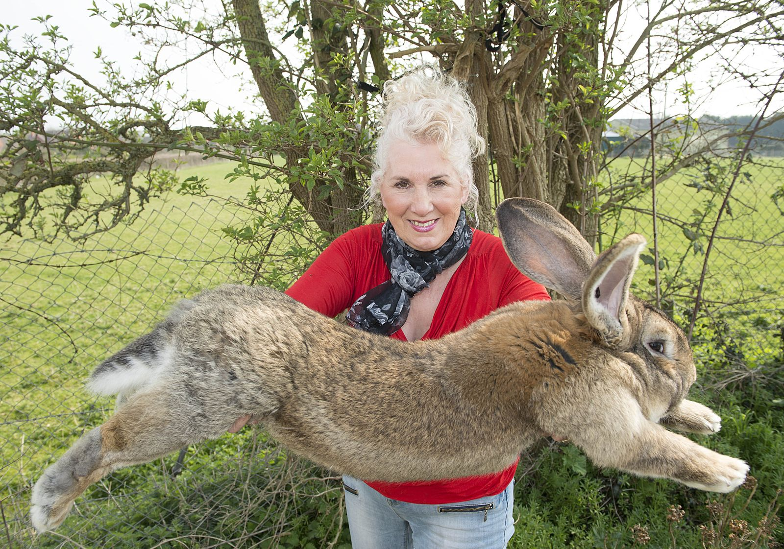Annette Edwards From Stoulton Worcestershire Who Has A Champion Giant Rabbit Darius And His Son Jeff Who Is Catching Up Fast. Picture By Damien Mcfadden: 07968 308252.