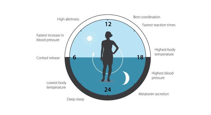 Wie unsere innere Uhr physiologische Prozesse beeinflusst