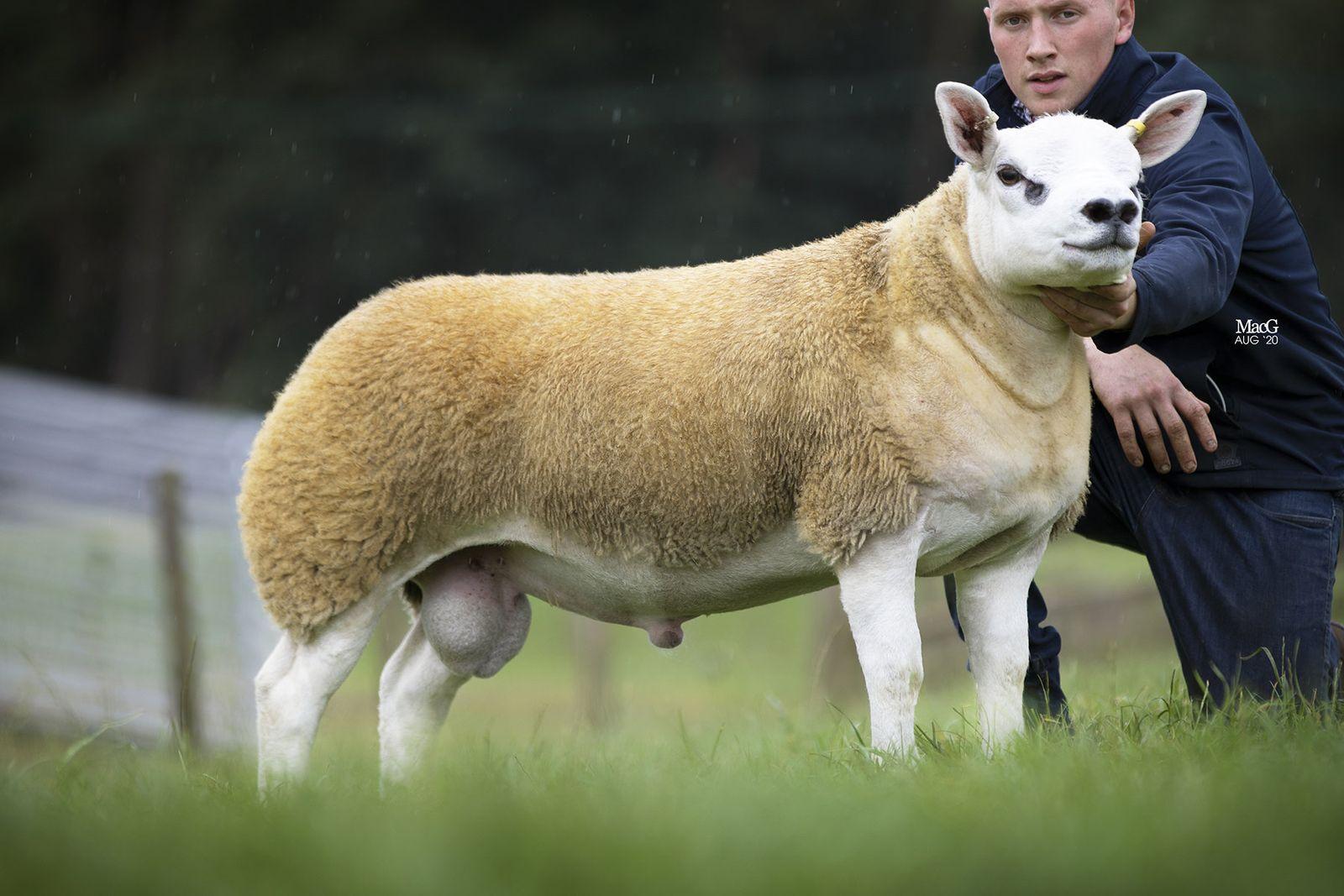 Das teuerste Schaf der Welt