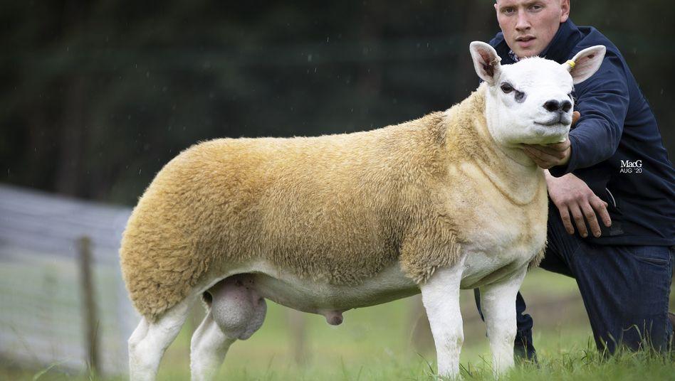 """""""Double Diamond"""": Das teuerste Schaf der Welt"""
