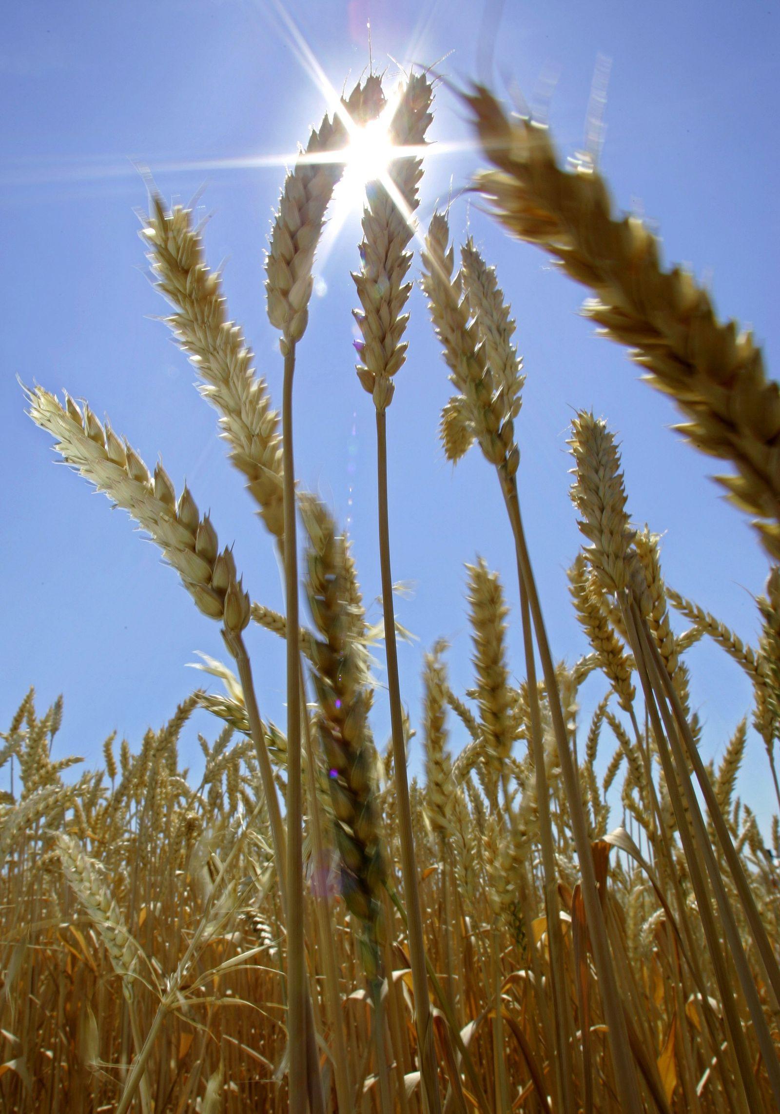 SYMBOLBILD Weizen