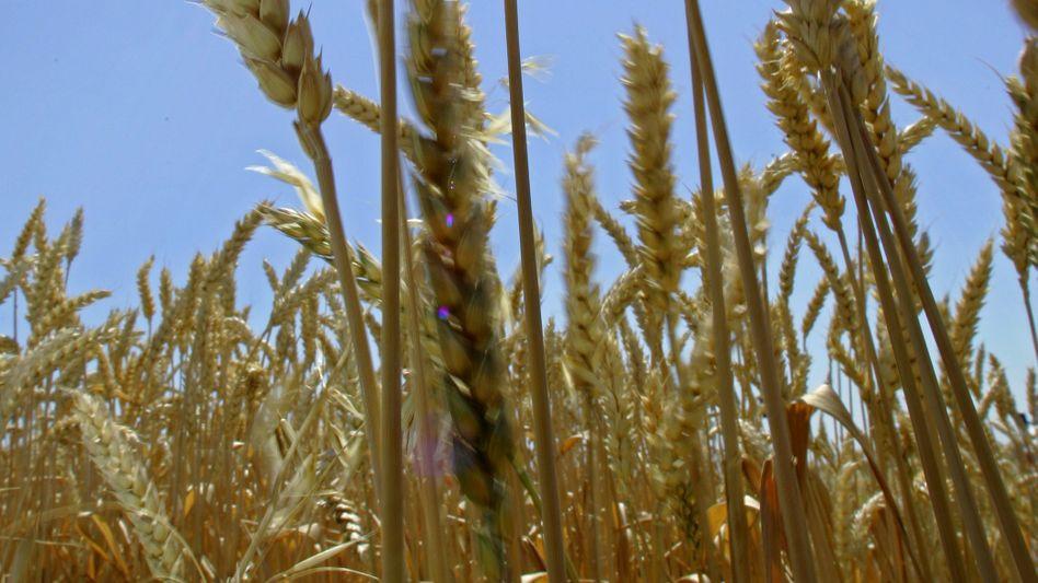 Weizenähren: Pilz-Mutante macht das Getreide angreifbarer