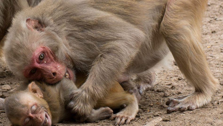 Rhesusaffenweibchen beißt ihr Junges