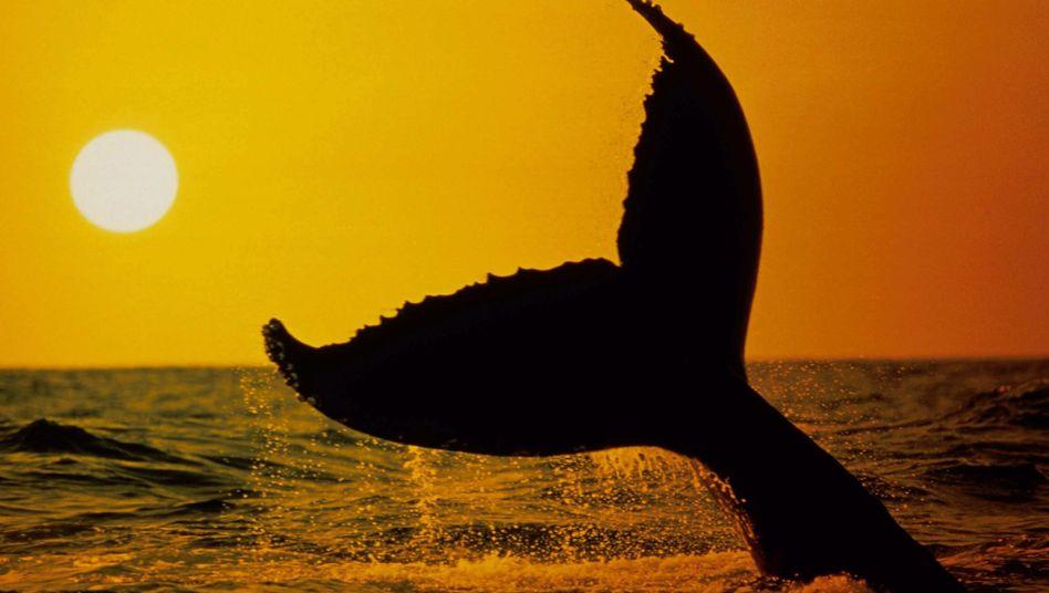 Buckelwal: Forscher sammeln zahlreiche Daten über die Meeressäuger