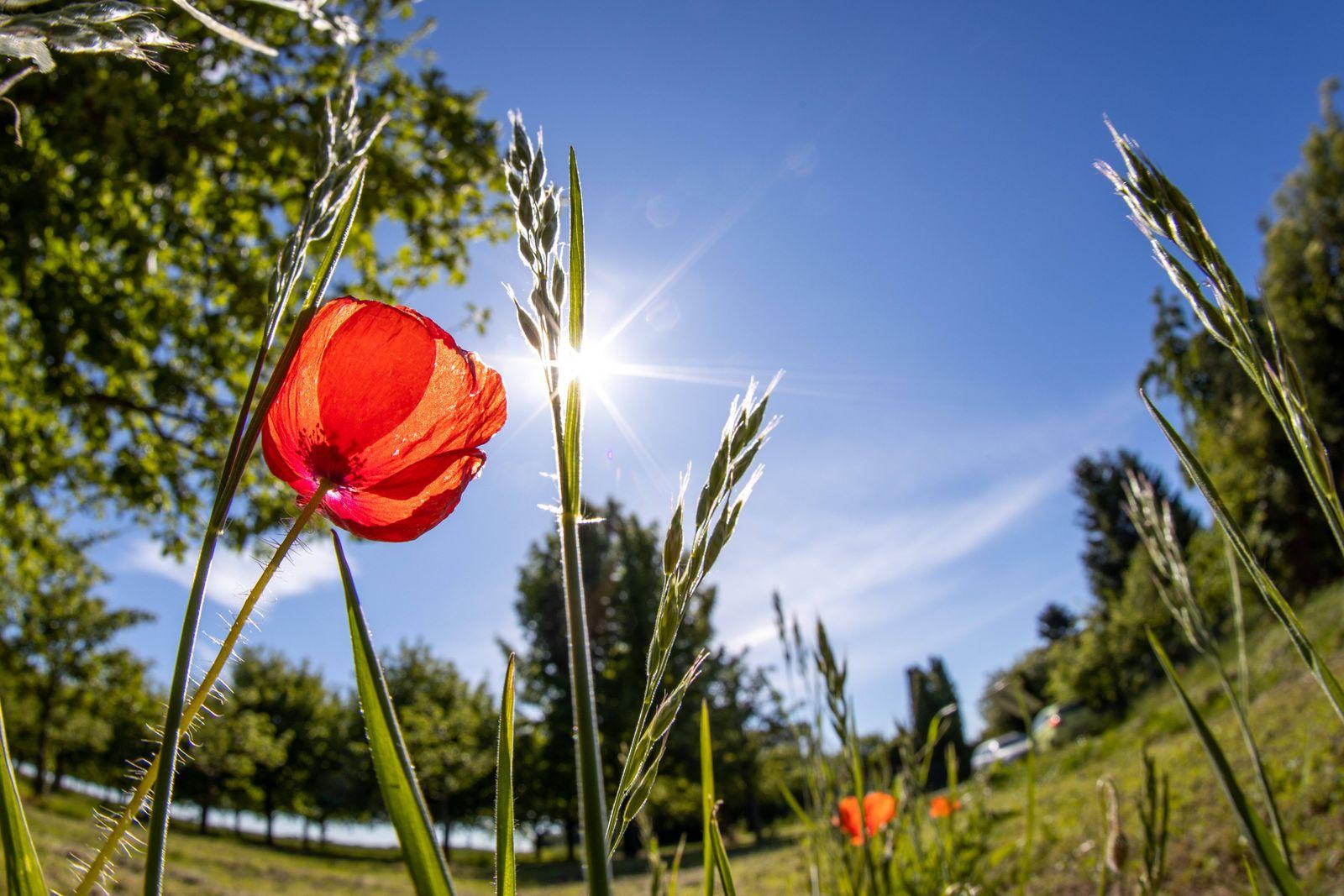 Sommerliches Wetter 19.05.2020, Bad Homburg (Hessen): Blühender Klatschmohn bei Sonnenschein auf einem Feld. Für die nä
