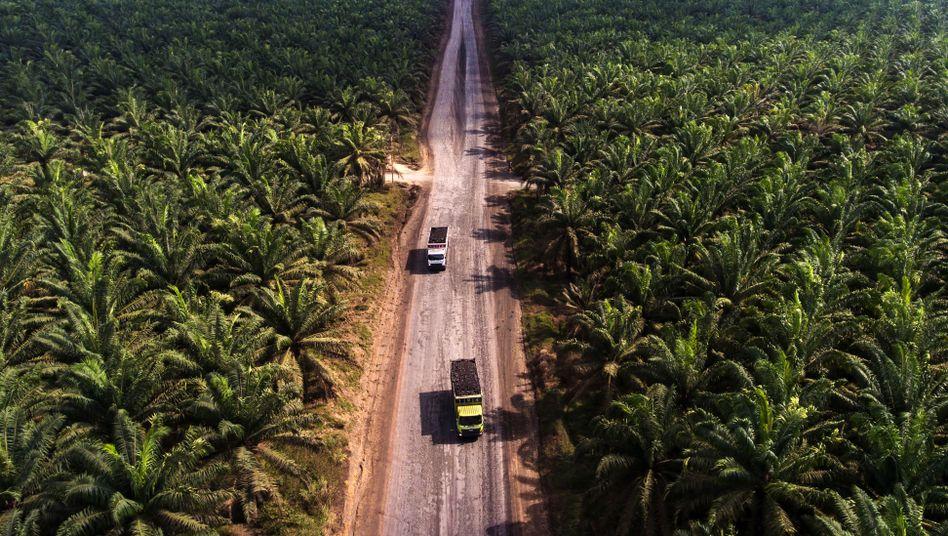 "Palmöl-Pflanzungen in Indonesien: ""Riesige Mengen auch illegal abgeholzt"""