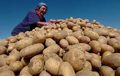 Vorwiegend festkochend: Kartoffeln