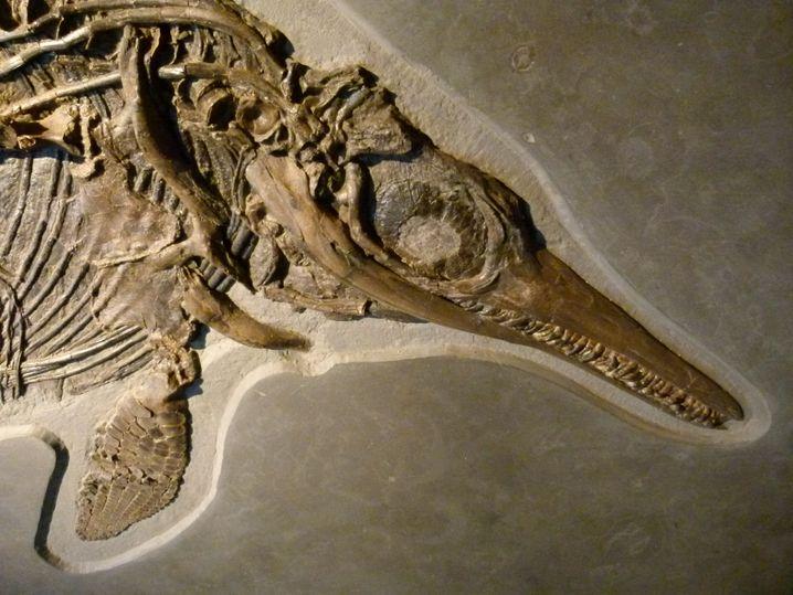 Ichthyosaurier hatten mit die größten und besten Augen aller Wirbeltiere