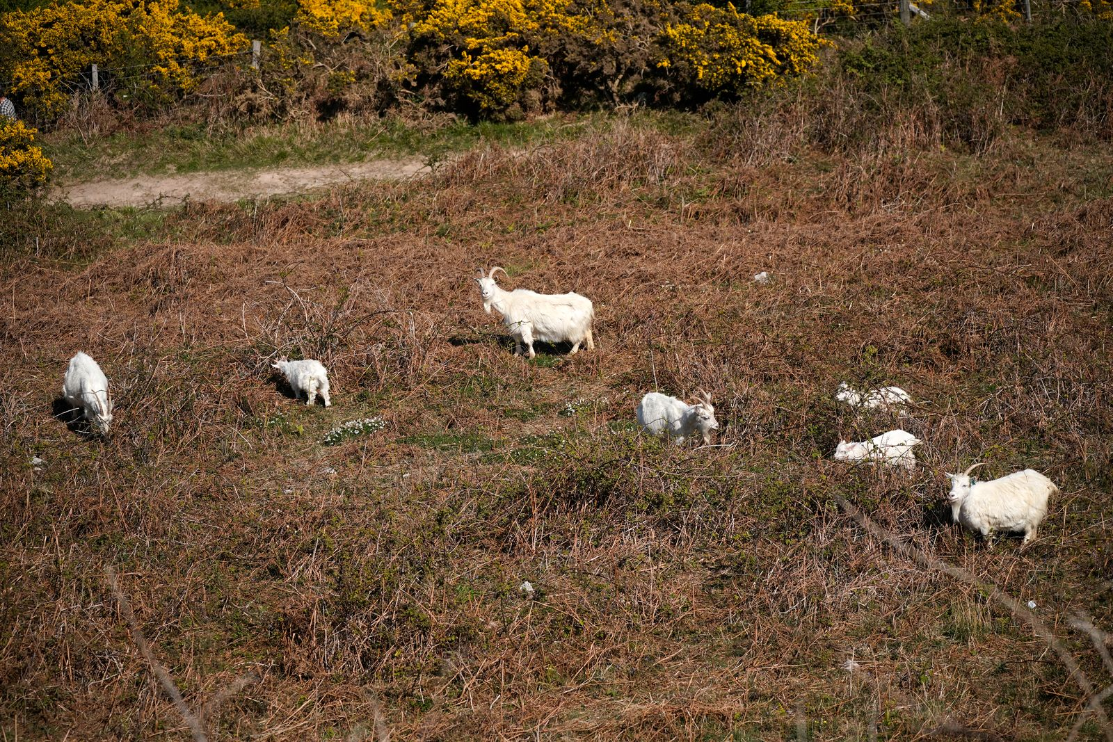 Llandudno Goats Return To Headland Home After Roaming Town On Lockdown