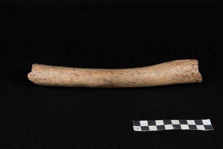 Oberschenkelknochen eines Neandertalers aus der Hohlenstein-Stadel Höhle