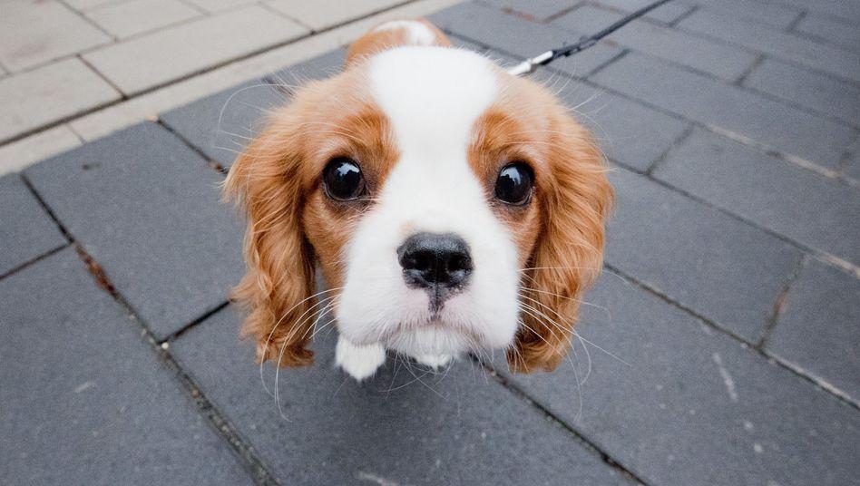 Hundeblick: Der 15 Wochen alte Spaniel hat offenbar Interesse an der Kamera