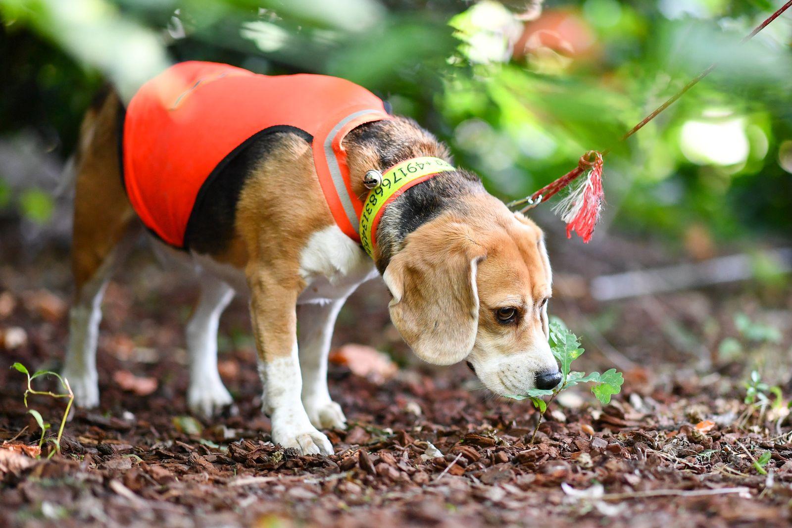 Spürhunde suchen Laubholzbockkäfer