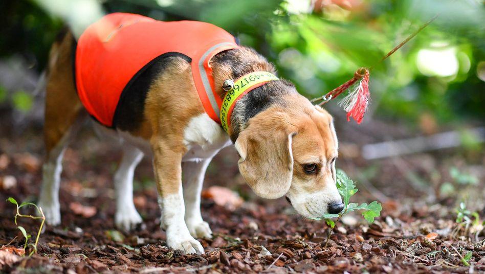Suchhund Mira