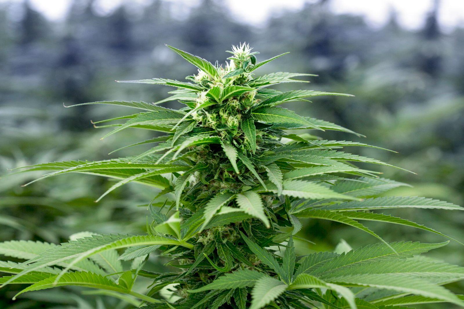 imc: Wie medizinisches Cannabis den deutschen Markt erobert