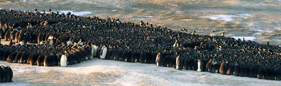 Kaiserpinguine in der Antarktis: Gemeinsam gegen die Kälte