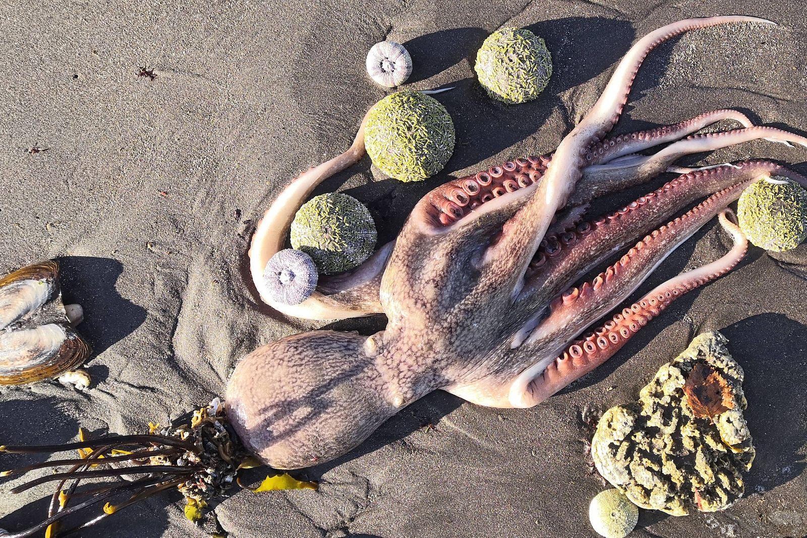 VILYUCHINSK, RUSSIA - OCTOBER 1, 2020: A dead octopus on the shore of the Bezymyannaya Bay. Many dead marine animals ar