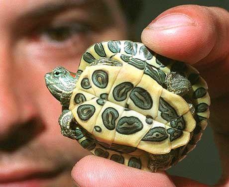 Schmuckschildkröten-Baby: Ausgewachsene Exemplare können bis 30 Zentimeter lang werden