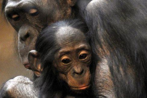 Bonobo-Weibchen mit Nachwuchs: Andere Affenarten gejagt und verspeist