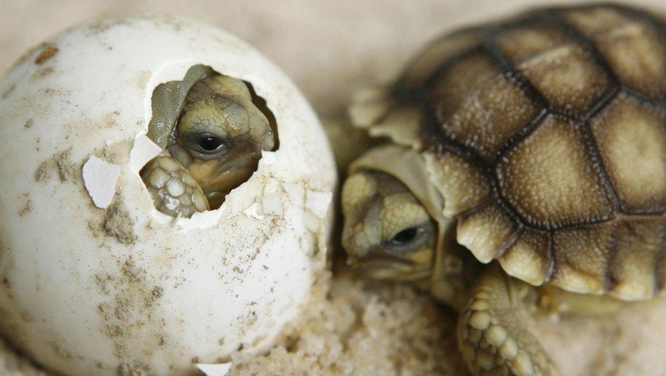 Schlüpfende Schildkröten im Zoo: Gleichzeitiger Bruch durch die Eihülle