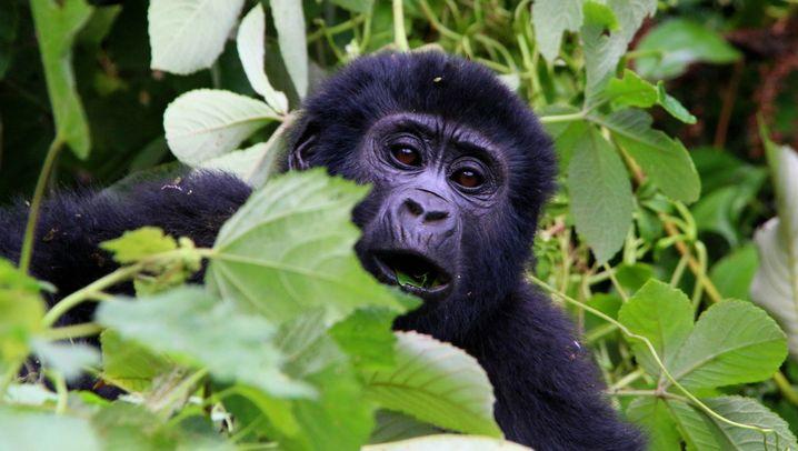 Berggorillas: Das Erbe von Karisoke
