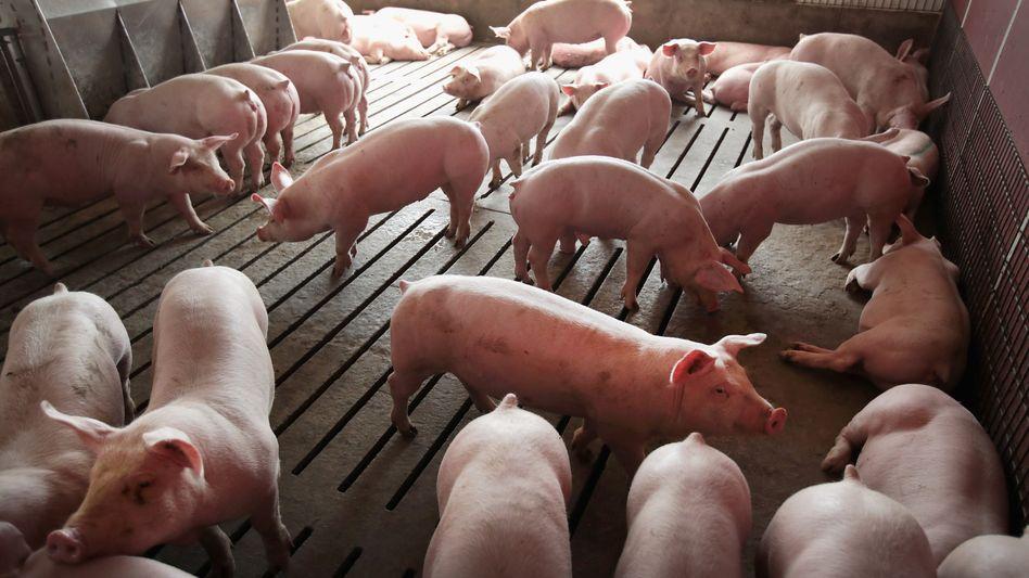 Schweine in einem Betrieb (Symbolbild)