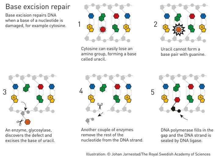 Unsere DNA besteht aus den Nukleinbasen Adenin, Guanin, Cytosin und Thymin. Cytosin bildet ein Basenpaar mit Guanin, Adenin mit Thymin. Lindahl entdeckte, dass Cytosin chemisch vergleichsweise instabil ist und leicht eine Aminogruppe verliert. Dadurch wird es zur Nukleinbase Uracil, die sich statt mit Guanin mit Adenin verbindet. Damit es nicht zu verheerenden Veränderungen der Erbinformation kommt, entfernen Enzyme das Uracil aus der DNA und schließen die Lücke wieder mit Cytosin. Lindahl veröffentlichte den Mechanismus 1974.