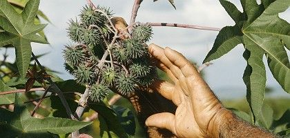 The fruits of the castor plant used to make biodiesel.